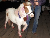 Cherry the miniature horse