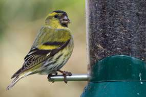 Nests near bird feeders are five times more likely to be predated ...