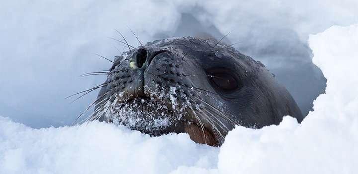 antarctic seals can help