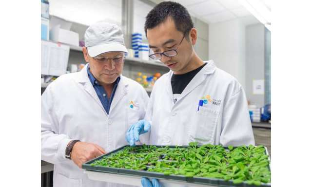 Discovery of plant immune signaling intermediary could lead to more pest-resistant crops
