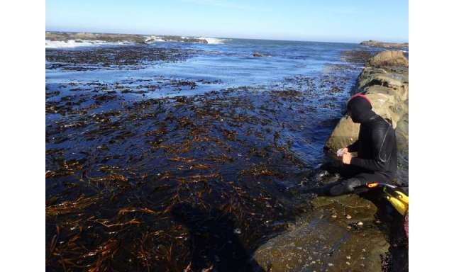 How giant kelp may respond to climate change