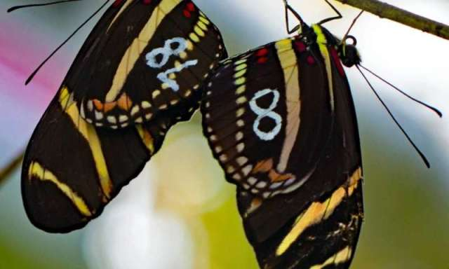 There's no place like home: butterflies stick to their burbs
