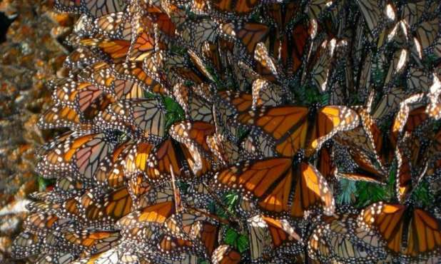 Butterfly Genomics: Monarchs flee and fly in different ways, but meet and mate