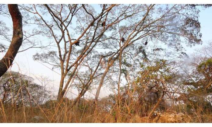 Chimpanzees show greater behavioural and cultural diversity in more variable environments