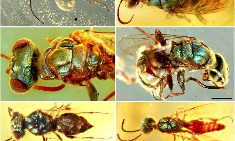 Les fossiles d'ambre dévoilent la vraie couleur d'insectes vieux de 99 millions d'années