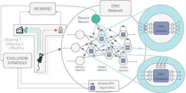 Unités neuronales évolutives (ENU) qui peuvent imiter la plasticité synaptique du cerveau