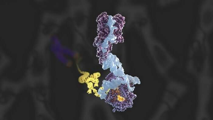 Three-dimensional structure of the human telomerase holoenzyme, as determined by cryo-EM at 3.4-3.8 Å resolution. Credit: MRC Laboratory of Molecular Biolof