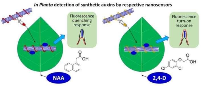 Researchers design sensors to rapidly detect plant hormones