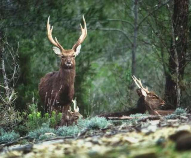 Rising Sika deer populations linked to bovine tuberculosis infections