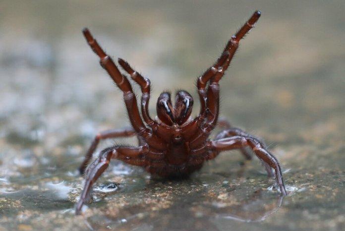 deadly spider venom