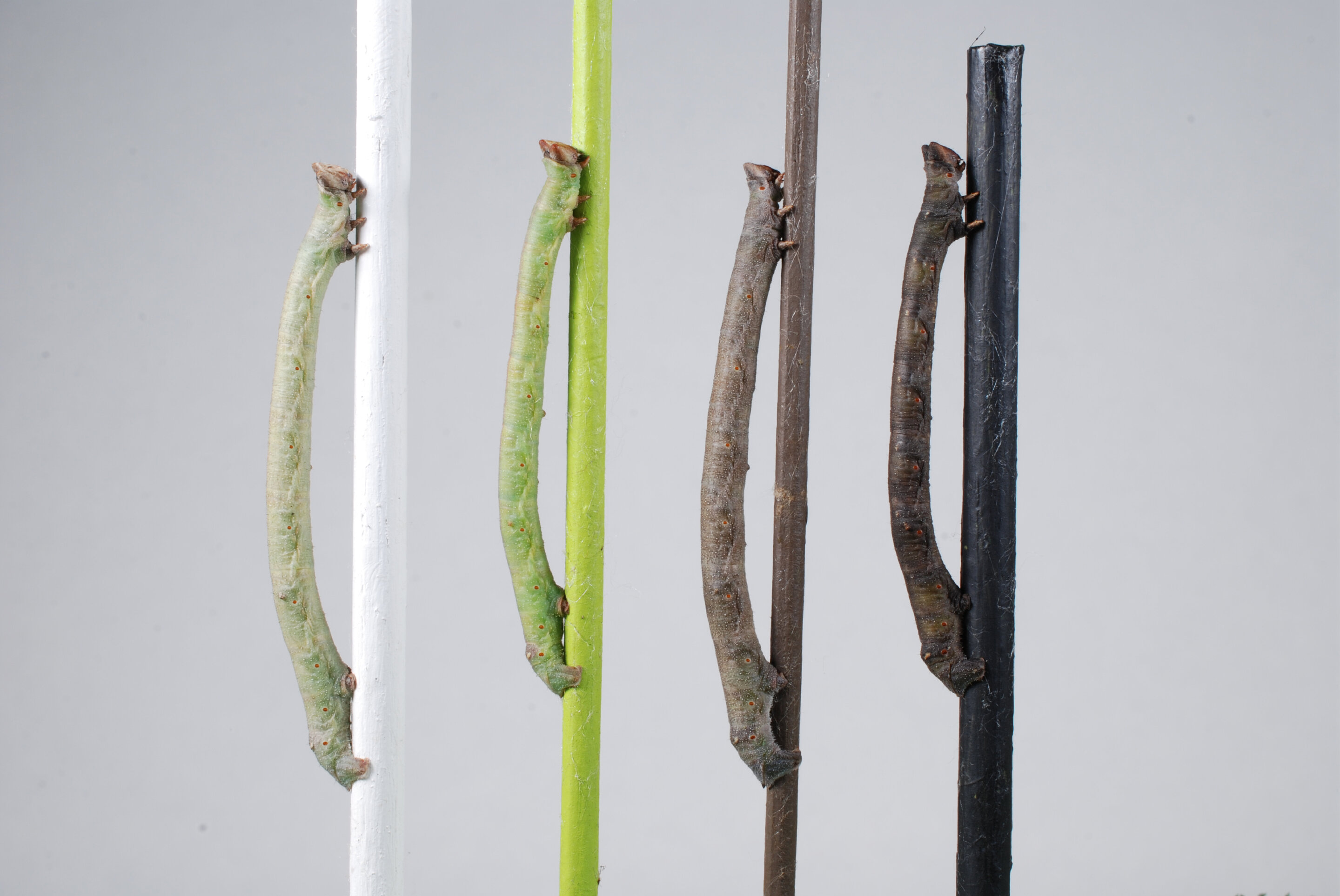 Caterpillars Of The Peppered Moth Perceive Color Through