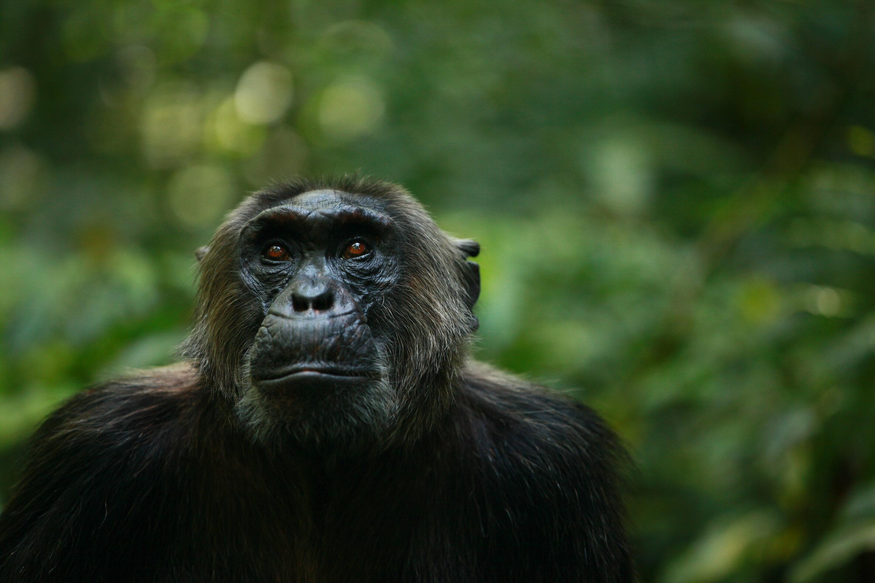 Human Impacts Erode Behavioral Diversity In Chimpanzees