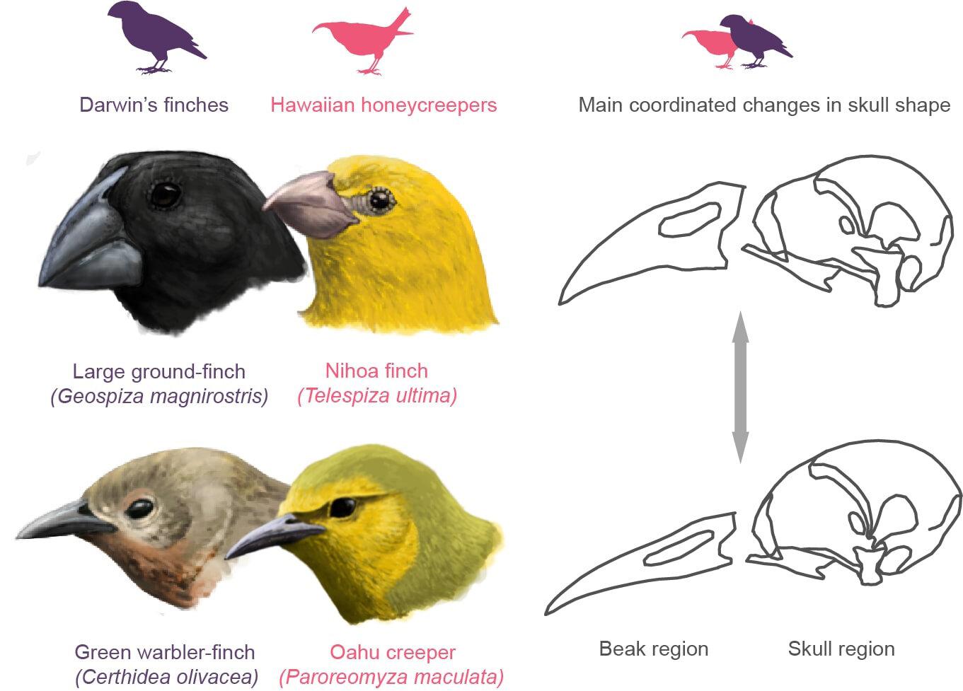 How The Development Of Skulls And Beaks Made Darwin S