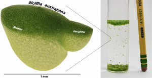 Research reaches the fastest growing plant in the world