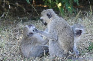Monkeys are less comfortable with each other when dealing with an infection, the study reveals