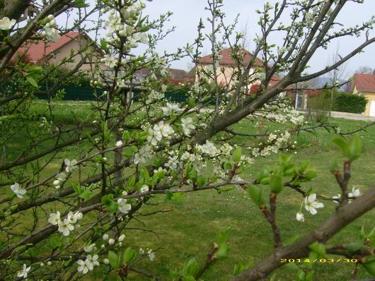 https://i0.wp.com/sd-5.archive-host.com/membres/images/164353825412355948/fleurs_mirabelle_2014_1.JPG