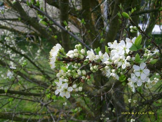 https://i0.wp.com/sd-5.archive-host.com/membres/images/164353825412355948/fleurs_mirabelle_2014_3.JPG