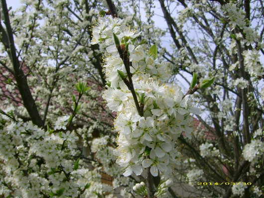 https://i0.wp.com/sd-5.archive-host.com/membres/images/164353825412355948/fleurs_mirabelle_2014_7.JPG