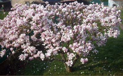 https://i0.wp.com/sd-5.archive-host.com/membres/images/164353825412355948/magnolia_vero.JPG