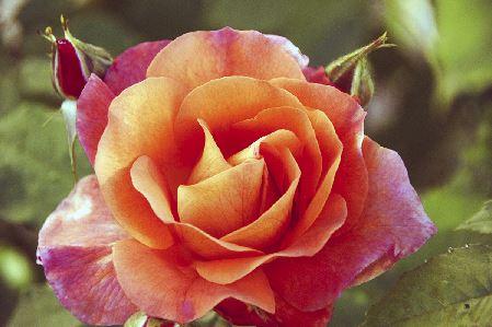 https://i0.wp.com/sd-5.archive-host.com/membres/images/164353825412355948/portrait_rose_7_photo.JPG