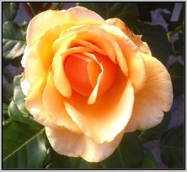 https://i0.wp.com/sd-5.archive-host.com/membres/images/164353825412355948/rose_mm_photo.JPG