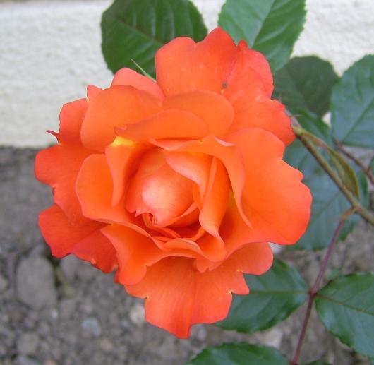 https://i0.wp.com/sd-5.archive-host.com/membres/images/164353825412355948/rose_orange_2013_1.JPG