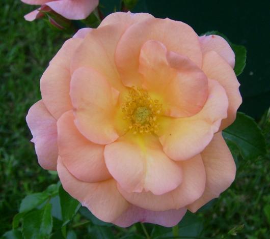 https://i0.wp.com/sd-5.archive-host.com/membres/images/164353825412355948/rose_peche_ete_2012_1.JPG