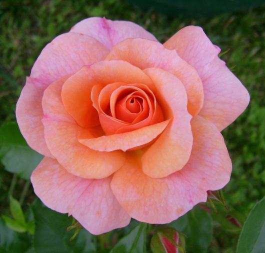 https://i0.wp.com/sd-5.archive-host.com/membres/images/164353825412355948/rose_peche_ete_2012_5.JPG