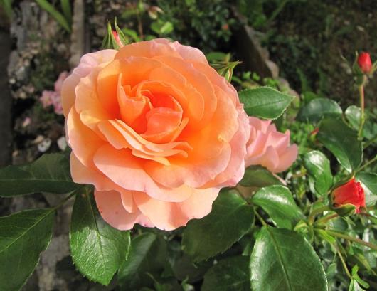https://i0.wp.com/sd-5.archive-host.com/membres/images/164353825412355948/roses_tardives_10.JPG