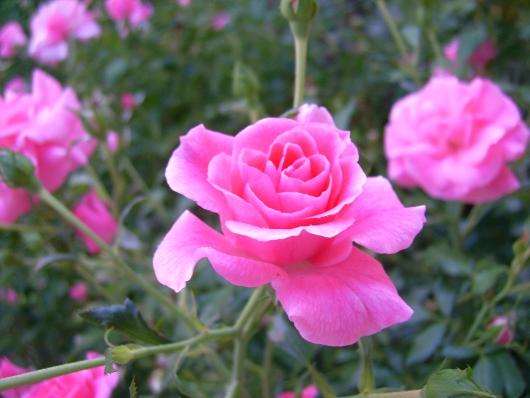 https://i0.wp.com/sd-5.archive-host.com/membres/images/164353825412355948/roses_tardives_7.JPG