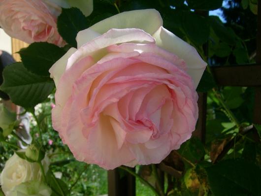 https://i0.wp.com/sd-5.archive-host.com/membres/images/164353825412355948/roses_toujours_2.JPG