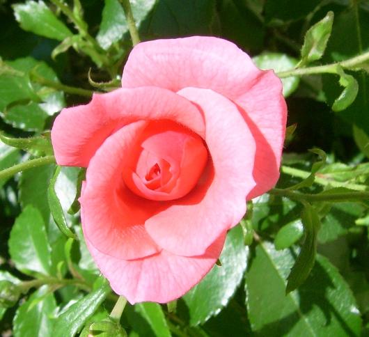 https://i0.wp.com/sd-5.archive-host.com/membres/images/164353825412355948/roses_toujours_7.JPG