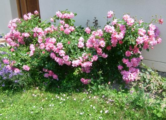 https://i0.wp.com/sd-5.archive-host.com/membres/images/164353825412355948/roses_toujours_8.JPG
