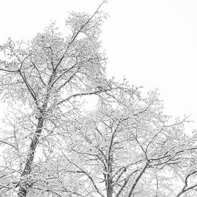 Winter in the Gulf Islands; snow on the Alders