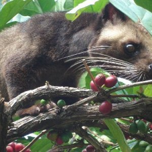 Kopi Luwak