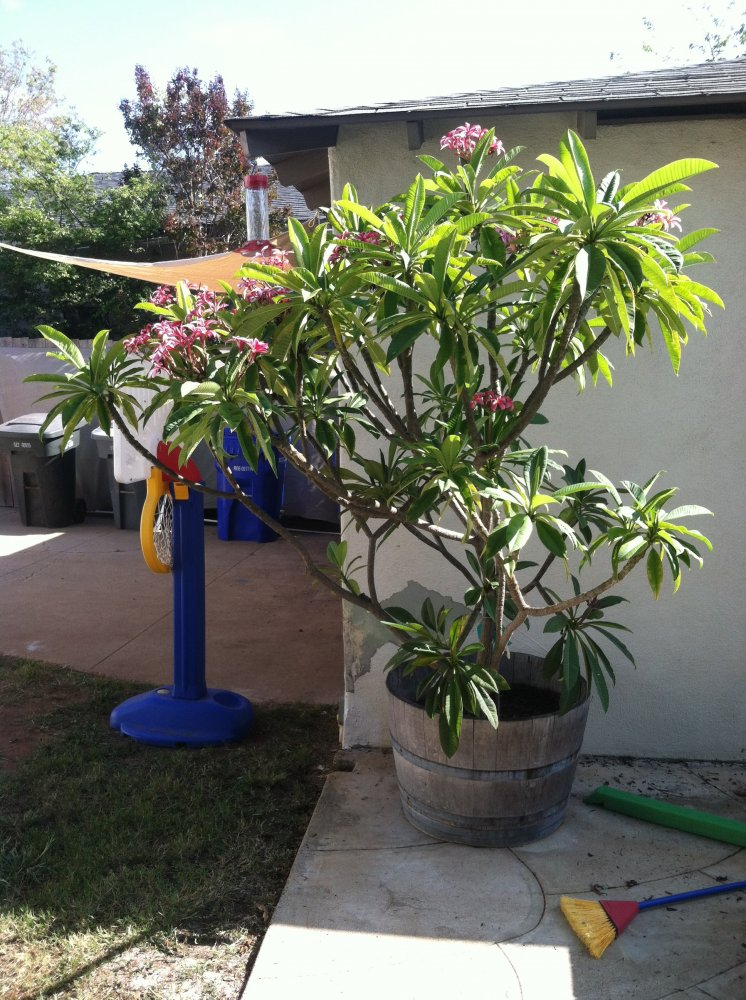 For SaleTrade  Plumeria Plants and Cuttings  San Diego