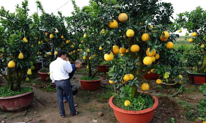 大部分果树可以栽种在盆里。(图/Getty Images)