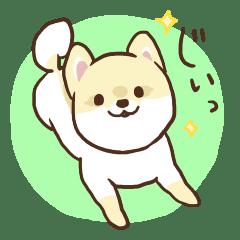 ポメラニアンのココア~柴犬カットのポメ~