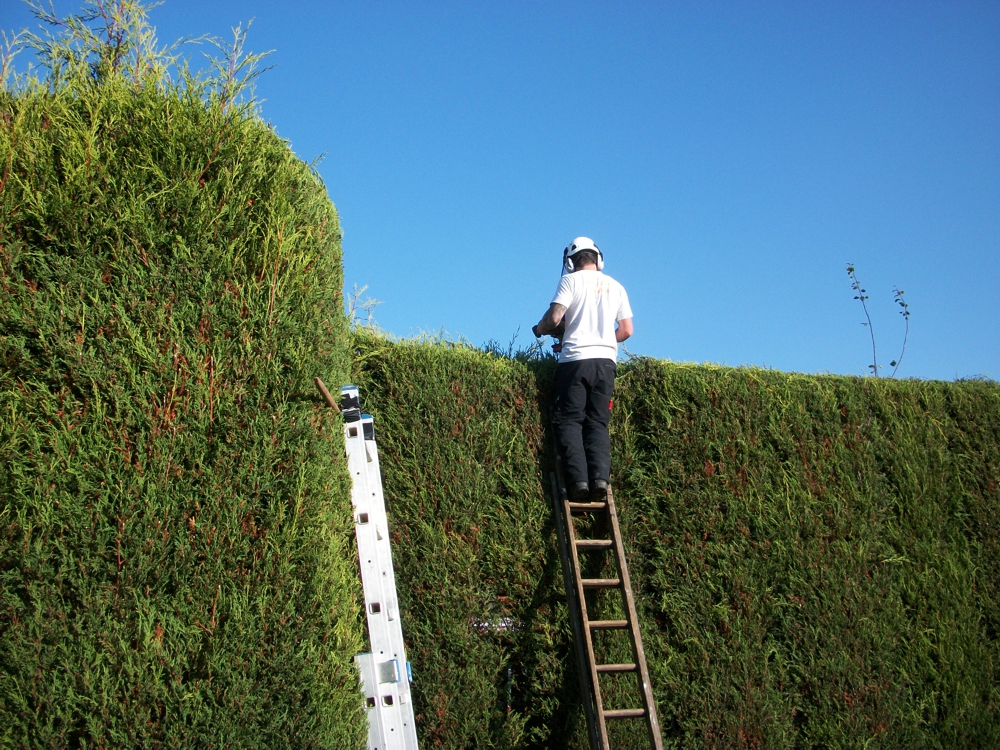hedge cutting from ladders