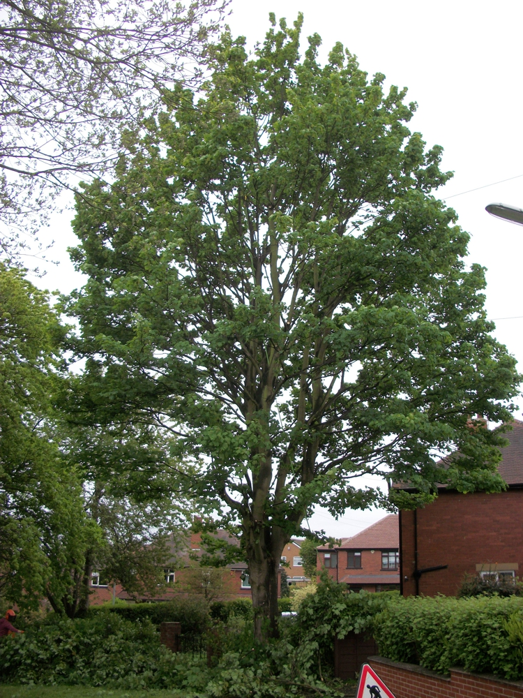 Tree services - sycamore crown thin after