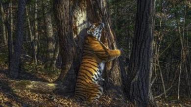 صورة نمرة تحتضن شجرة تفوز بجائزة العام لتصوير الحياة البرية