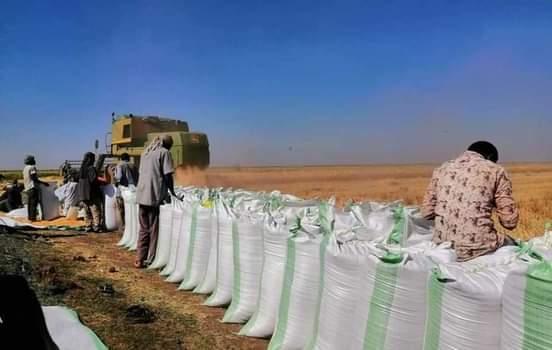 مزارعو الجزيرة يطالبون بزيادة السعر التركيزي للقمح وتوفير مطلوبات الحصاد