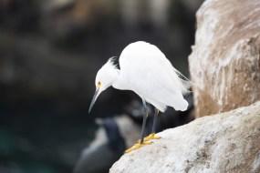 Snowy White Egret, by Dan Bucko