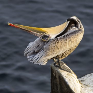 Brown Pelican Yoga, by Tom Applegate