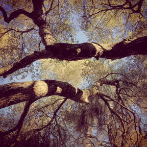 Looking straight up into a canopy of Coast Live Oaks.