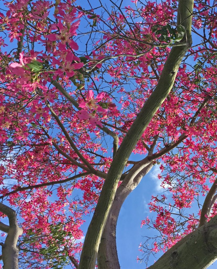 Carmen Saunders - Tree with pink flowers.