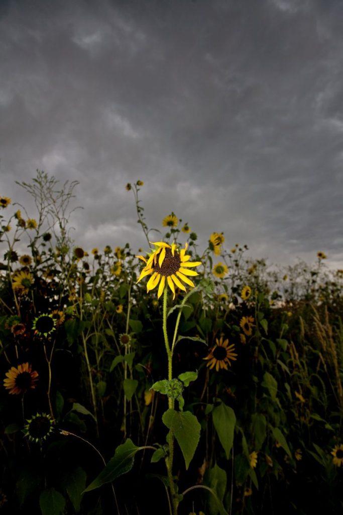 2nd - Peter Tellone - Goth Sunflower