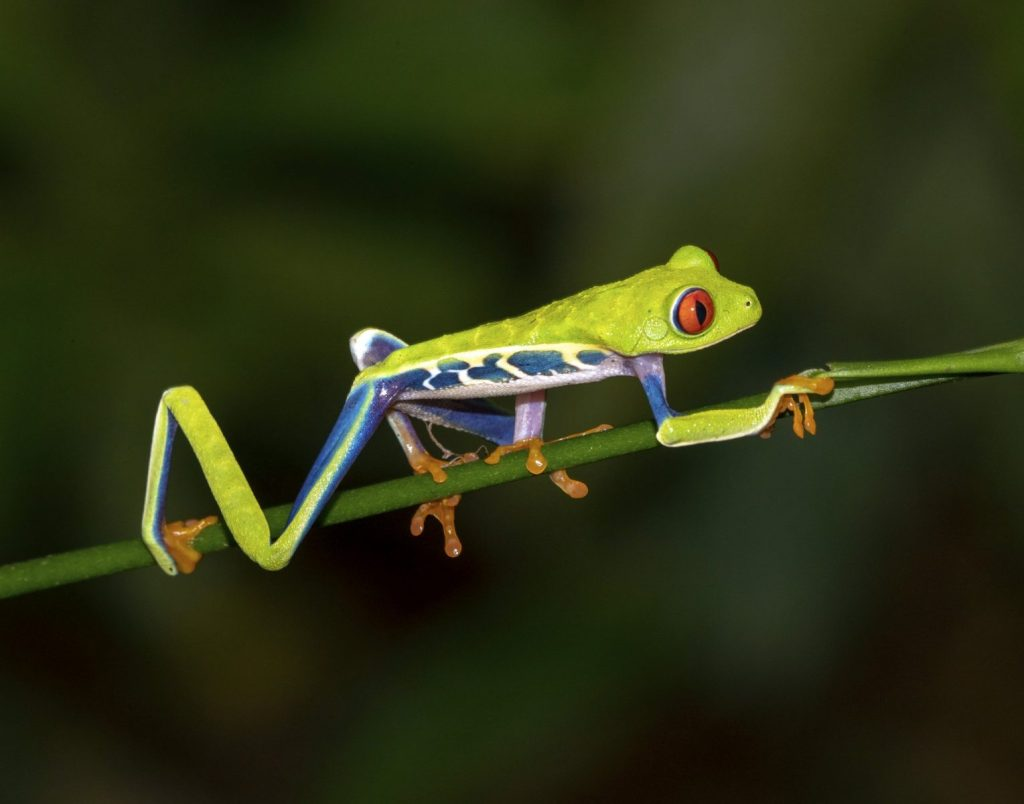 2nd - Tom Applegate - Costa Rica Tree Frog
