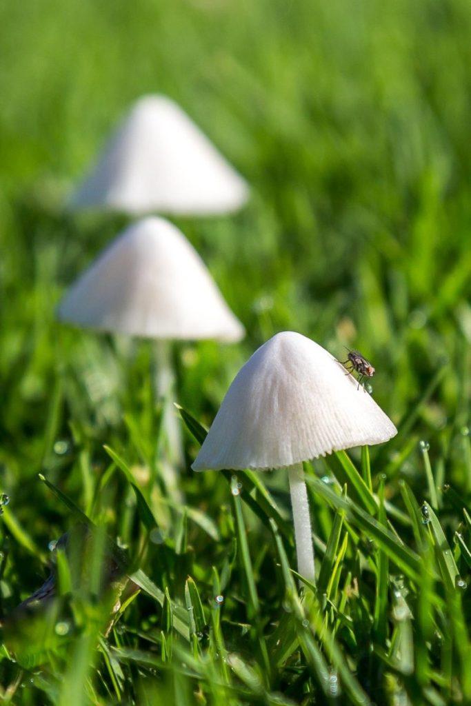 Hon - Duane Bazzel - Mushroom Fly
