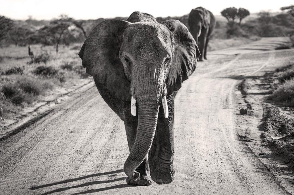 Hon - Osia Strasner - Serengeti Elephants